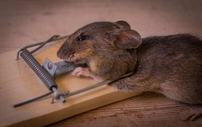 mouse trapped dead