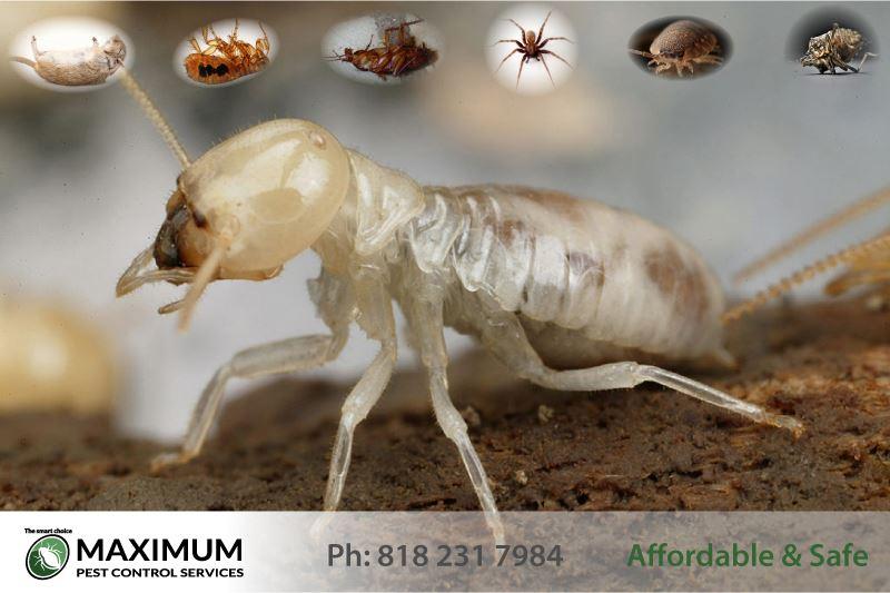 Termite close up